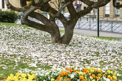 Flower grin flower Spring. city. Magnolia . It is named after French botanist Pierre Magnol. spring. city stock photography