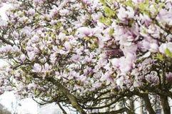 Flower grin flower Spring. Magnolia . It is named after French botanist Pierre Magnol. spring royalty free stock images