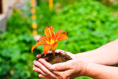 Flower in the ground. Emergency transplantation of a flower in the hands Stock Photos