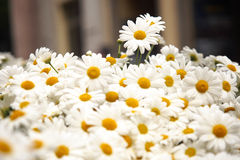 Flower, Group of daisies. Stock Images
