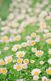 Flower group. Many mini flowers have pollen yellow color and petal white color and green leafs Royalty Free Stock Image