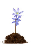 Flower grow in the soil. Beautiful flower grow in the soil on white background Stock Photo
