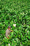 Flower grower. Asian flower grower picking the calla lily from a farm in Taipei Taiwan Stock Photo