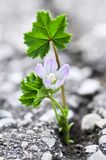 Flower growing from crack in asphalt Royalty Free Stock Images