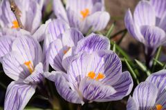 Flower growing crocus in a park on a sunny spring day stock images