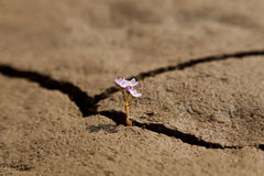 Flower Growing from Dry Cracked Earth Royalty Free Stock Photography