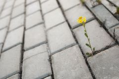 Flower growing through the paving stone at sunset Stock Photos