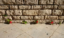 Flower growing out of wall. Red little flower growing out of wall Stock Image