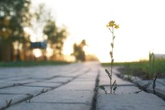 Flower growing through the paving stone at sunset Stock Image