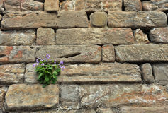 Flower growing on a rock wall Stock Photo