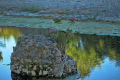 Flower growing on a rock Stock Photography