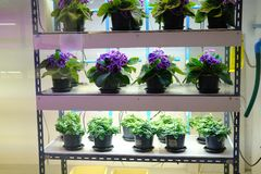 Flower growing in temperature control system with artificial light. plant factory. Flower growing in temperature control system with artificial light in plant stock photos