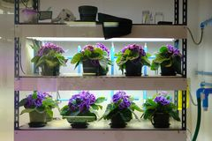 Flower growing in temperature control system with artificial light. plant factory. Flower growing in temperature control system with artificial light in plant royalty free stock photo