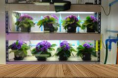 Flower growing in temperature control system with artificial light. plant factory. Flower growing in temperature control system with artificial light in plant royalty free stock images