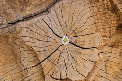 Flower growing in wood log. Beautiful flower growing out of a cut wooden log Royalty Free Stock Image