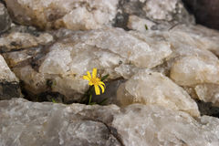 Flower grows in a cervice. Flower growing in a rock crevice Stock Photography