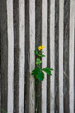The flower grows through a fence. Stock Photography