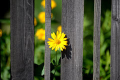 The flower grows out from between the boards of the fence. Stock Images