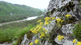 The flower is pastured on a rock in the mountains. stock video