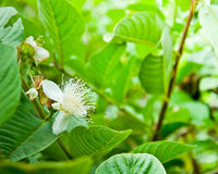 Flower of guava tree Royalty Free Stock Photo