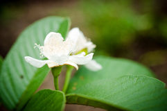 Flower of guava tree Stock Photo