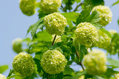 Flower of guelder-rose Royalty Free Stock Image