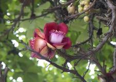 Flower gun tree - Couroupita . Royalty Free Stock Image