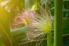 Flower from the hair of corn, in the period of the formation of a roll with grain.  Royalty Free Stock Image