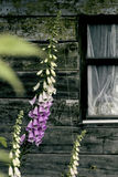 Flower and half window Royalty Free Stock Image