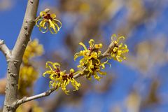 Flower of hamamelis in early spring. stock photo