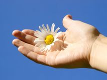 Flower in Hand. A single flower in a hand Royalty Free Stock Photos
