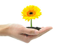 Flower in a hand Royalty Free Stock Photos
