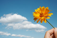Flower and hand. Yellow flower in hand against blue sky and white clouds Royalty Free Stock Photos