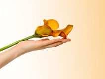 Flower in a hand. Stock Photo