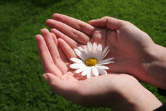 Flower and Hand. Femenine hands holding white daisy with green grass background Royalty Free Stock Image