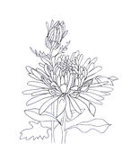 Flower hand drawn aster Stock Images