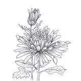 Flower hand drawn aster Stock Photography