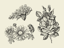 Flower. Hand drawn sketch dogrose, rosehip, wild rose, bird cherry, chrysanthemum. Vector illustration Royalty Free Stock Photography