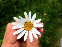 Flower. The hand holding a flower from the Garden Royalty Free Stock Photo