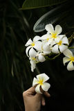 Flower and hand. Human pick Plumeria in the black background Stock Photos