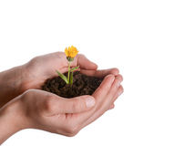 Flower in handful soil. Yellow flower in handful soil in hand on an isolated background Royalty Free Stock Image