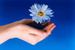 Flower in hands. On a blue sky Stock Images