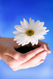 Flower in hands. On a blue sky Stock Image