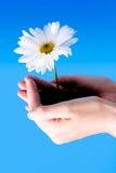 Flower between hands. On a blue sky Stock Photos