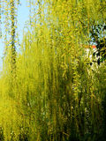 Flower, Has,Weeping willows stock image