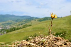 The flower on the hay on background of mountains Carpathians, Uk Stock Image