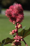 Flower head. Royalty Free Stock Image