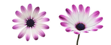 Flower head of african daisy Royalty Free Stock Photo
