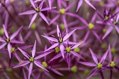 Flower head of Allium Purple Sensation Allium aflatunense in summer garden stock photography