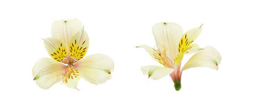 Flower head of Alstroemeria Stock Images